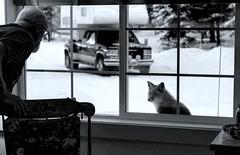 Fox asks to come in . . . (JLS Photography - Alaska) Tags: winter blackandwhite monochrome animal animals alaska foxy wildlife fox critters wilderness redfox cabinlife jlsphotographyalaska