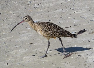 Long-billed Curlew. Fairly Rare on Bunche Beach