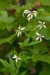 Gillenia stipulata (Eric Hunt.) Tags: white flower rosaceae gillenia gilleniastipulata americanipecac