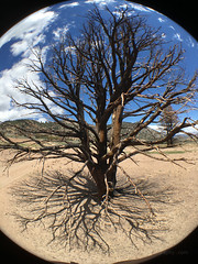 Tree Fisheye (Jeffrey Sullivan) Tags: california county camera travel copyright usa jeff apple mobile lens mono photo spring phone unitedstates may cellphone roadtrip blogger images sierra fisheye sullivan eastern iphone 2016 6s iphoneography olloclip iphone6splus