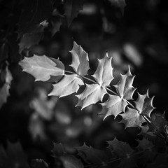 American Holly (Mabry Campbell) Tags: blackandwhite stilllife plants usa plant nature monochrome landscape photography march photo dallas texas photographer image tx unitedstatesofamerica fineart holly hasselblad photograph 100 squarecrop fineartphotography 80mm 2016 commercialphotography f32 americanholly intimatelandscape hc80 sec mabrycampbell h5d50c march252016 20160325campbellb0001105