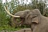 Asiatic elephant MEKONG (K.Verhulst) Tags: elephants emmen olifanten wildlands aziatischeolifant asiaticelephants aziatischeolifanten wildlandsadventurezoo