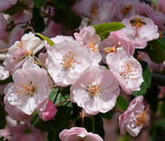 Today's Blossoms (Colorado Sands) Tags: pink flowers plant flower tree us spring colorado blossom pastel blossoms may blossoming springtime willowsprings jeffersoncounty sandraleidholdt
