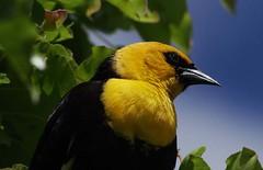 Yellow-headed blackbird (CatseyeGomez) Tags: bird nevada sparks blackbird yellowheaded