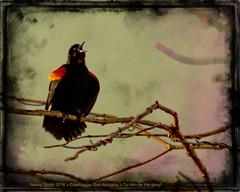 Red-winged Blackbird (NancySmith133) Tags: painterly photopainting redwingedblackbird centralfloridausa lakeapopkanorthshorewildlifedrive