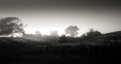 untitled (ChrisRSouthland (back in Athens - at last)) Tags: leica morning newzealand blackandwhite bw sun mist monochrome vineyard earlymorning rays mm toned tinge hawkesbay havelocknorth elmarit28mmf28 mmonochrom leicammonochrom