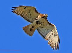 Red-tailed Hawk (rumerbob) Tags: bird lens hawk mark wildlife valley 7d mm redtailed birdwatching birdofprey redtailedhawk birdwatcher lakegalena birdinflight 100400 parkcanon iicanon wildlifephotographernaturepeace