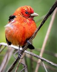 Scarlet Tanager 2 (Wes Iversen) Tags: chicago nature birds illinois wildlife scarlettanager pirangaolivacea montrosepointbirdsanctuary sunrays5 tamron150600mm