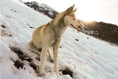 Reto Diagonal -Disfrutando el clima- (Alyaz7) Tags: dog pet sunlight mountain snow sol nieve diagonal perro montaña coldweather mascota photoshopedit climafrío camararaw nikonp600 huskysyberian retodiagonal