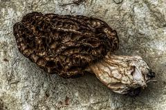 Morel, non-fresh (Elliott Bignell) Tags: italien italy italian italia liguria cairo fungus funghi italie morel pilz italienisch ligure dego montenotte ligurien morchel piandellacanepa ciandellacana