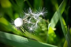 IMG_7918 (kween_beek) Tags: nature wisconsin outdoors weed dandelion wish wildflower wi