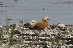 Ruddy Shelduck (Tadorna ferruginea) (macronyx) Tags: bird birds birding birdwatching nature wildlife aves fglar oiseaux vogel wildfowl waterbird duck and rostand shelduck ruddyshelduck tadorna tadornaferruginea