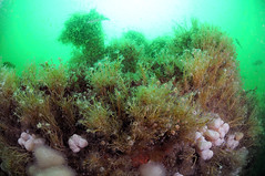 Plymouth-201605-JamesEaganLayne1-14-HydroidsAtopDeck-TubulariaSp (Tony J Gilbert) Tags: macro marine underwater plymouth diving scylla jameseaganlayne nikond300 handdeeps wwwdivingplymouthcom ceeking hilseapointrocks