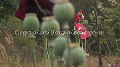 Danish Flag Papaver Somniferum Opium POPPY Pods n Flower Seeds from - OrganicalBotanicals_Com (gjaypub) Tags: flowers plants nature silhouette photography pod photos gardening bees seed seeds poppy poppies growing opium pods cultivation papaver somniferum morphine cultivating papaversomniferum 2016 potency poppyhead alkaloids organicalbotanicals