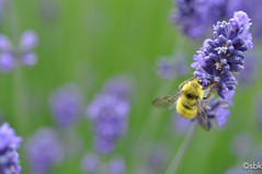 hanging on (SarahBK Photography) Tags: flowers canada green nature yellow garden insect outdoors photography wings purple lavender bee yyj