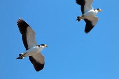 Masked Lapwings (blachswan) Tags: spurs wings feathers australia victoria birdsinflight ballarat lakewendouree maskedlapwings dredgingisland