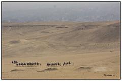 EGTI-112010_625_PB (Valentin Andres) Tags: egypt camel caravan egipto gizeh caravana camellos gizah