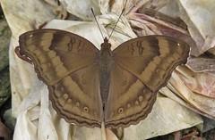 Junonia iphita, Chocolate Pansy (Birdernaturalist) Tags: nepal butterfly nymphalidae nymphalinae richhoyer