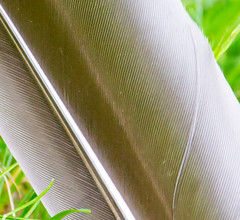 Goose Feather (Pauline Brock) Tags: macro nature stripes feather goosefeather brownfeather macromondays feathercloseup largefeather