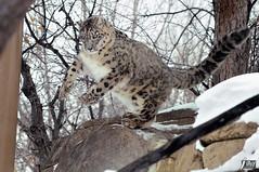 Snow Leopard (cebuphotographer) Tags: utah hoglezoo nikoncapturenx nikond300 nikon200500mmf56