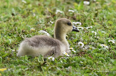 Gosling (Ladyinrosso) Tags: uk nature daisies gosling