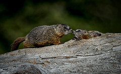 Buddies (BarneyK) Tags: animals explore woodchuck groundhog jacksonhole whistlepig marmotamonax gtnp
