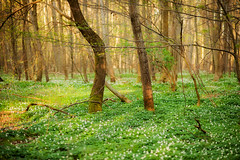 a forest (Rainer Schund) Tags: nature abend three nikon forrest natur blumen bume baum urwald wlder lichtstimmung nikond700 naturemasterclass natureexploring