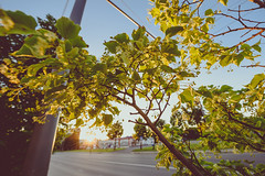 Linden #174/365 (A. Aleksandraviius) Tags: city summer plant tree nikon linden blossoms 365 nikkor lithuania kaunas lietuva 2016 project365 365days 1424 d810 174365 nikond810 1424mm 3652016
