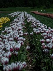 DSC_3766 (Copy) (pandjt) Tags: ca flowers canada bc britishcolumbia tulip abbotsford tulipfestival abbotsfordtulipfestival