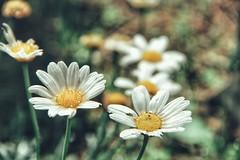 a daisy's heart (***toile filante***) Tags: flowers summer detail macro nature water rain wasser dof heart bokeh sommer natur blumen daisy makro emotions herz regen gnseblmchen gefhl