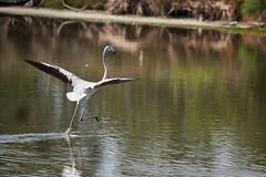 _DSC8541 (Carmen Coronado) Tags: naturaleza valencia fauna pjaros albufera sigma150500f563apodgos nikond750