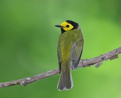 Hooded Warbler (sspike@rogers.com) Tags: warbler hooded male woodwarbler steverossi nature bird steve rossi canon