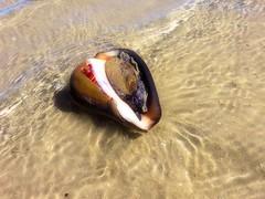 IMG_0155 glam (Tina A Thompson) Tags: sonora seashells mexico sealife seashell marinebiology tidepools seaofcortez marinelife chollabay mexicobeaches chollabaymexico