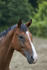 Horse (powerdook) Tags: trees horse brown white green animal fur outside branch outdoor stable hest dyr