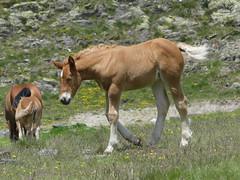 P1000238 (Franois Magne) Tags: cheval libert poulain jument blond blonde bai frange montagne etang lanoux estany de lanos lac pyrnes