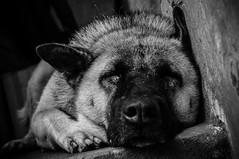 Sleepy (TT.Hunter) Tags: dog white black sleep