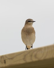Steindepill - Wheatear (ingolfssonvalur) Tags: steindepill oenantheoenanthe wheatear wildlife iceland nature bird birds