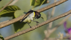 Purple-Romped sunbird(m) (munnanaveen121) Tags: birds sunbird