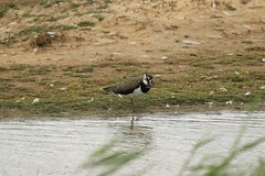 Lapwing (WhitePointer) Tags: lapwing rspb minsmere vanellus2
