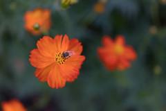 DSC02118 (Zengame) Tags: hamarikyu hamarikyugardens rx rx1 rx1r rx1rm2 rx1rmark2 sony zeiss cc cosmos creativecommons flower japan tokyo           jp