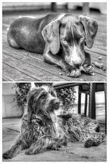 Lou and Taddy (randallphilip79) Tags: public canon60d white maidstone kent dog cross garden bw pointer canon dalmatian 60d england puppy animal black haired blackandwhite philrandallphotography germanwirehairedpointer