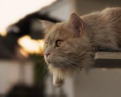 Watch the evening bird (FocusPocus Photography) Tags: linus katze kater cat chat gato tier animal feline haustier pet abend evening sunset sonnenuntergang sommer summer