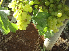 IMG_4884 (Chat Malicieux) Tags: madeira trauben grapes