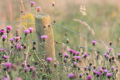 HFF (jillyspoon) Tags: hff fencefriday happyfencefriday thistles pink fence fencepost post canon70d anon canon explore autumn