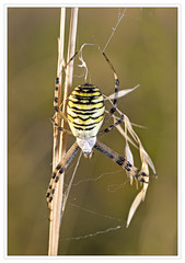 Wasp Spider (alone68) Tags: kwt templeewell waspspider canon nature