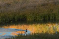 500_1357 (DianeBerky19) Tags: nikond500 jacksonholewyoming wy summitnatureworkshop 2016 duck lake