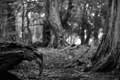 (a.pierre4840) Tags: olympus omd em5 cmount schneider kreuznach xenon 25mm f095 dof depthoffield bokeh bw blackandwhite monochrome noiretblanc woodland wood forest creepy