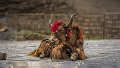 Tibet, animal abuse, a yak at the tourist spot for taking pictures with (China), 06-2016, 45 (Vlad Meytin, vladsm.com) (Vlad Meytin | Instagram: vmwelt) Tags: chengguan china khimporiumco meytin tibet tibetan vladmeytin abusinganimals animalabuse art artgallery artists artphoto artworld asia carlzeiss chinese fe5518 gallery highaltitude mainstream photography photographyart pictures sony sonya7 sonyalpha streetphotography summer touristspot touristsintibet usinganimals vladsm vladsmcom vmwelt yak zeiss