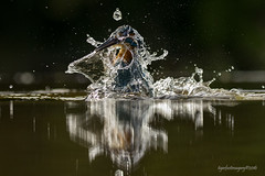 Bursting the bubble (Ross Forsyth - tigerfastimagery) Tags: kingfisher wildlife nature free wild bird avian fisherman dumfries kirkcudbright spray splash scotland fantasticwildlife animalplanet
