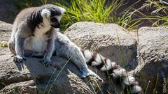 P1150193 (Pursuedbybear) Tags: tarongazoo sydney sydney2016 ringtailedlemur lemur